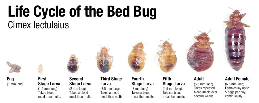 Life Cycle of the Bed Bug - Best Bed Bug Mattress Protectors